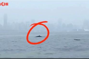 稀奇!鲸鱼做客青岛近海 或是一头虎头鲸